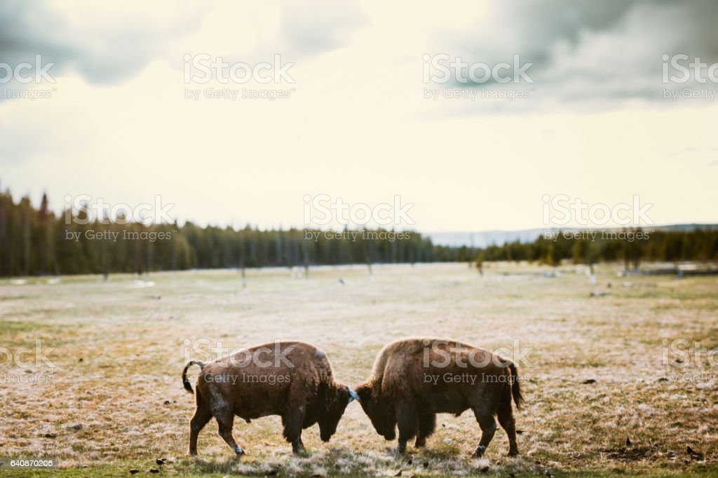 Bison In Yellowstone National Park stock photo