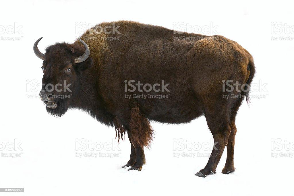 bison isolated stock photo