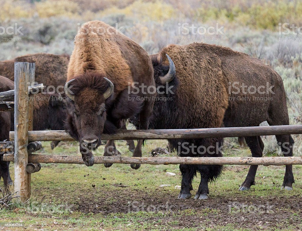 bison jumping wooden fene stock photo