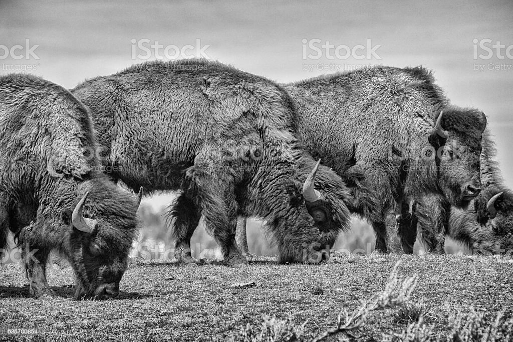 Bison lunch line stock photo