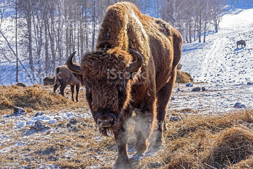 bison mammal hay winter stock photo