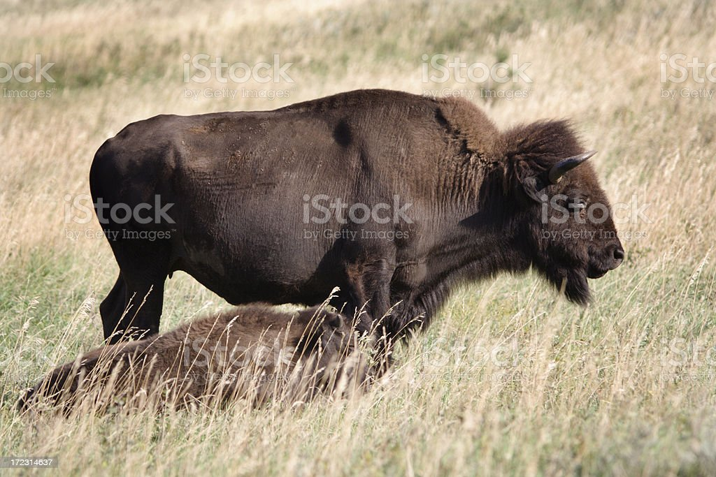 Bison Mother & Calf royalty-free stock photo