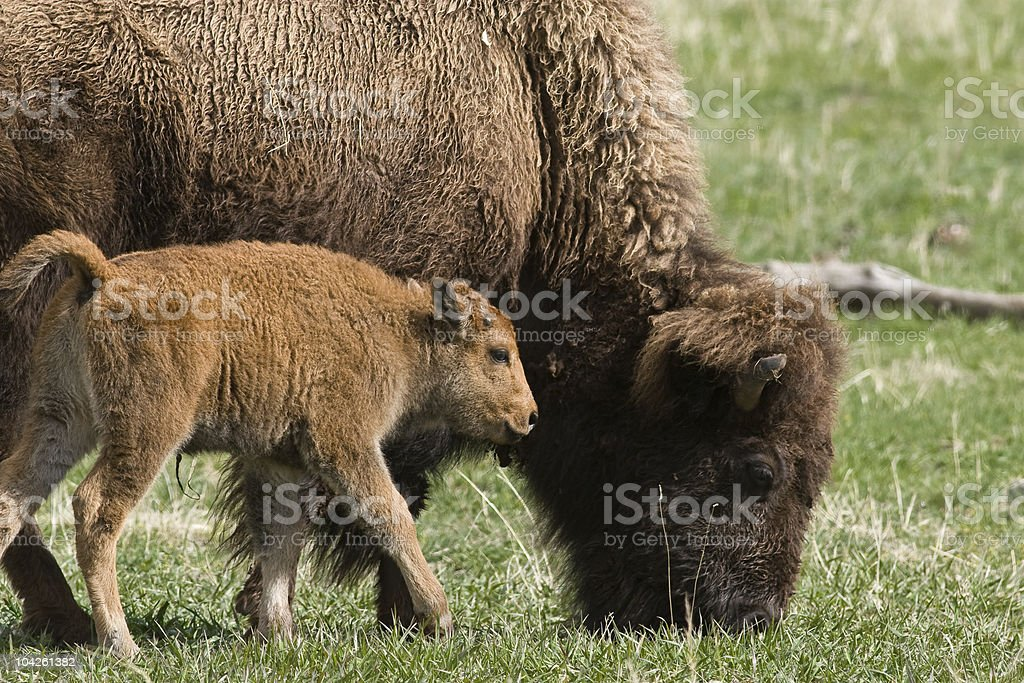 Bison mother with Baby royalty-free stock photo