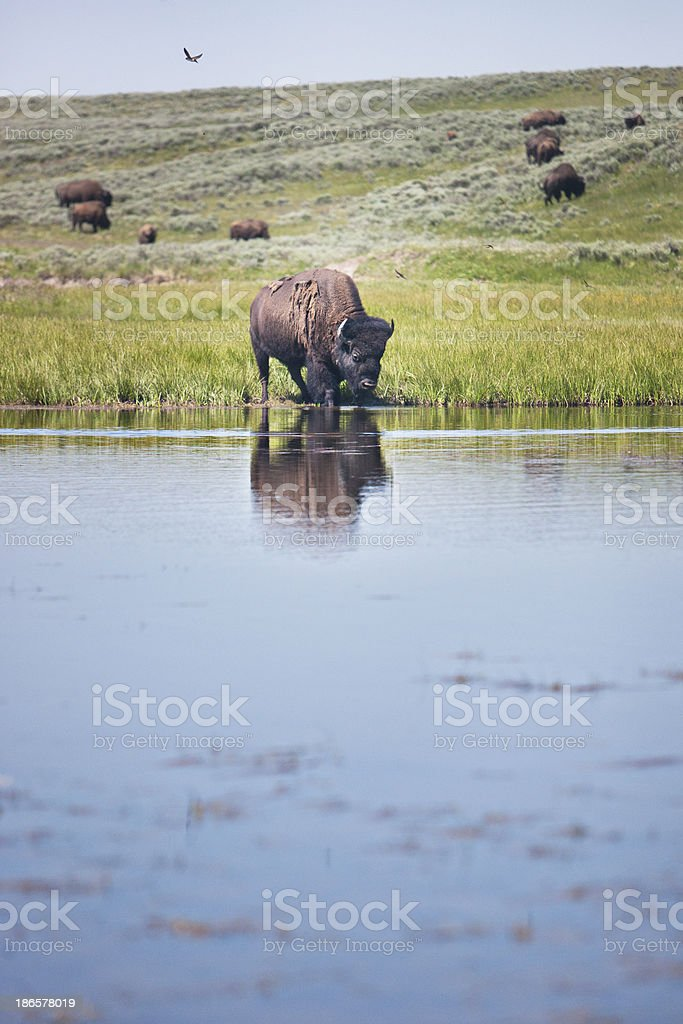 Bison next to a lake royalty-free stock photo