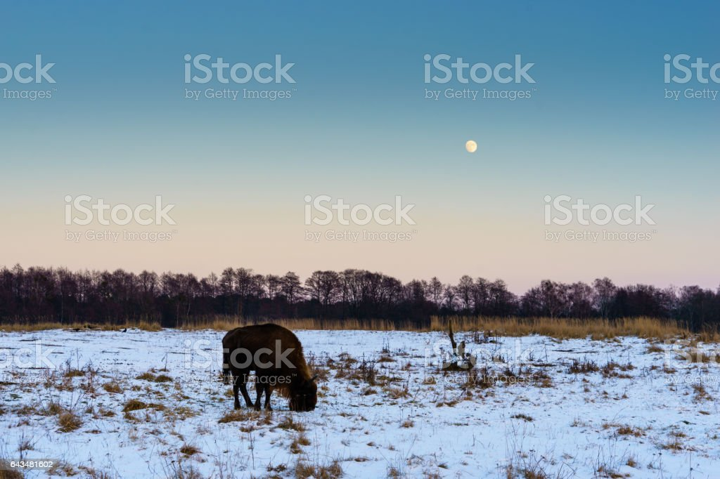 bison on a snow covered field stock photo