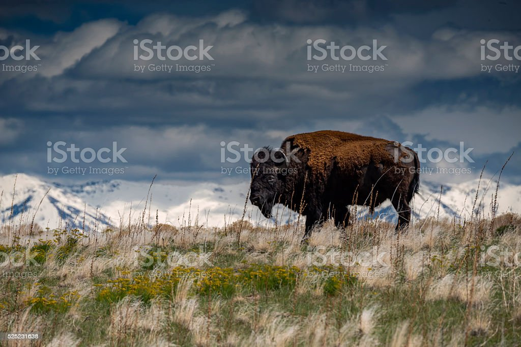 Bison on Antelope Island in Utah stock photo