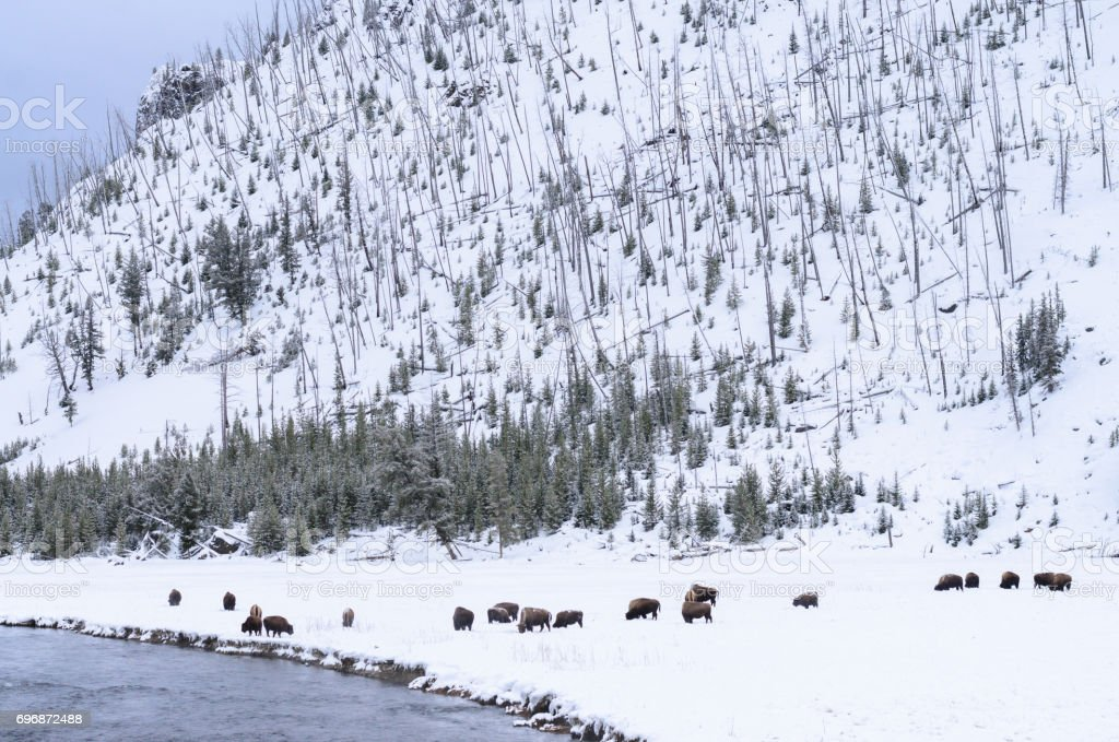 Bison on snow field at Yellowstone National Park stock photo