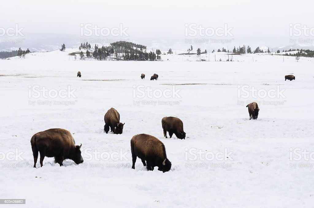 Bison on snow field stock photo