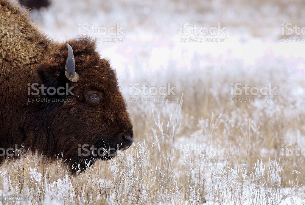 Bison on snowy prairie stock photo