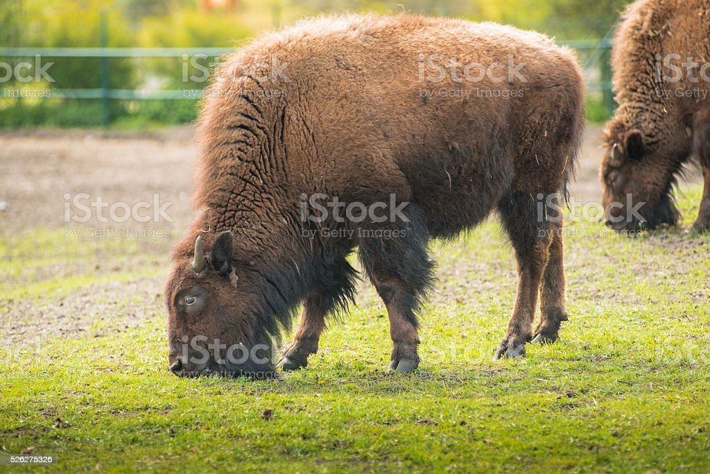 Bison on the meadow. Herd animals Sthen calm, eat grass stock photo