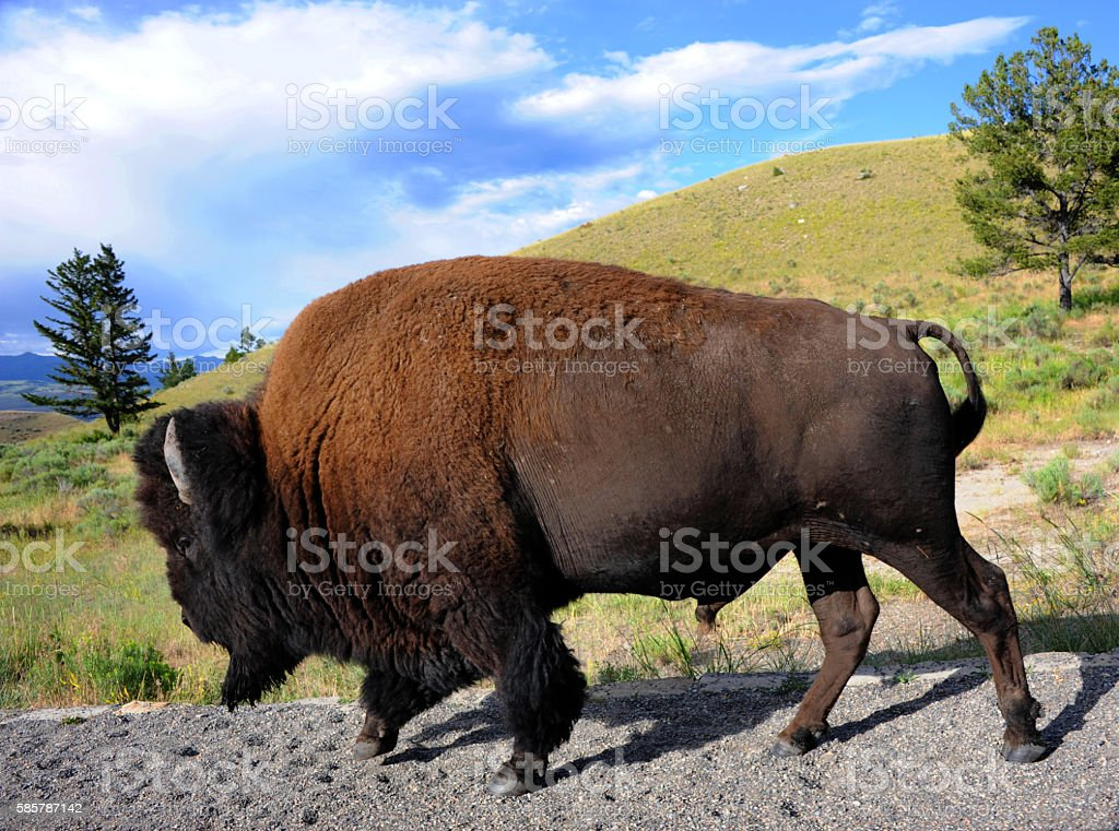 Bison on the Move stock photo