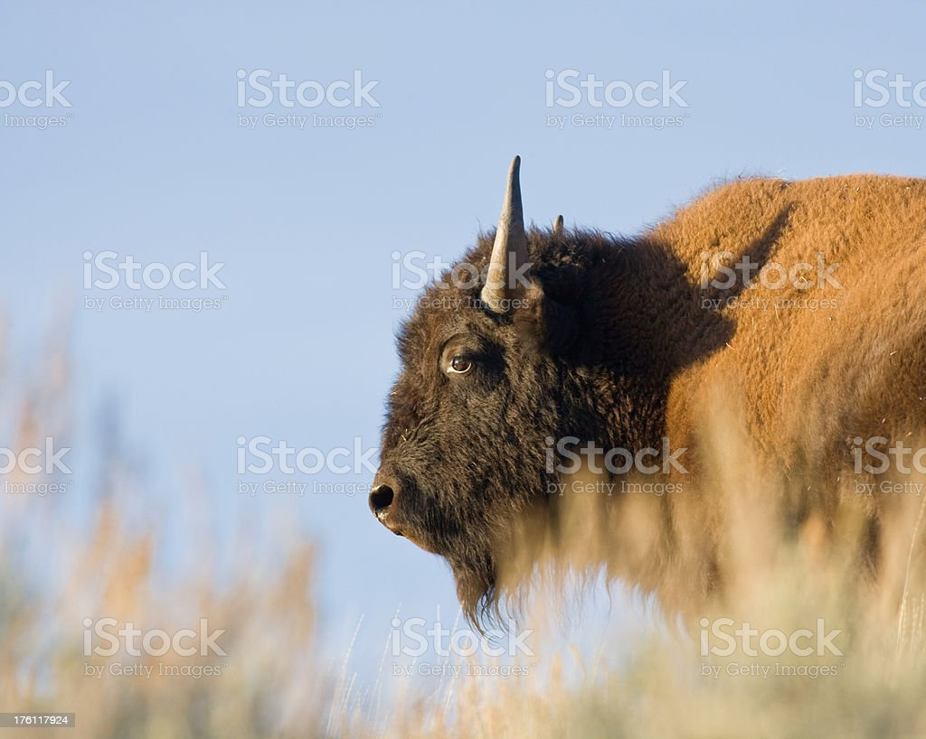 Bison on the Praire stock photo