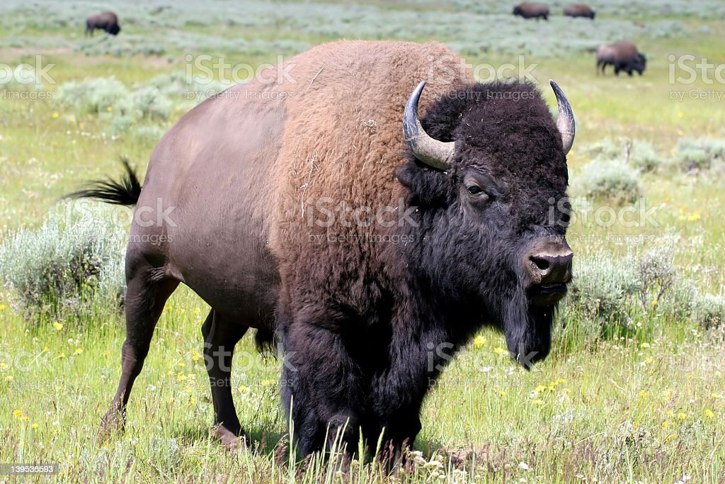 Bison out in their wild habitat royalty-free stock photo