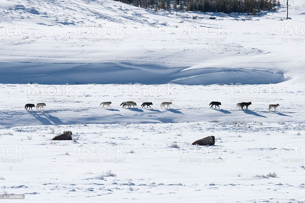Bison pair and Druid wolf pack Lamar Valley Yellowstone Wyoming stock photo
