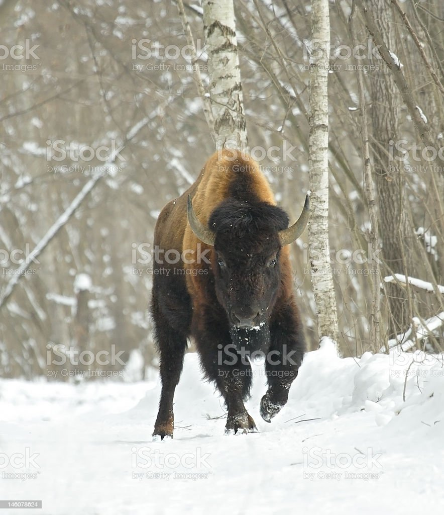 Bison royalty-free stock photo