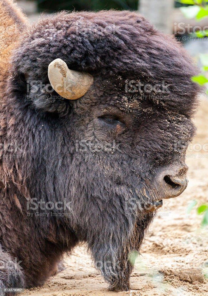 Bison stock photo