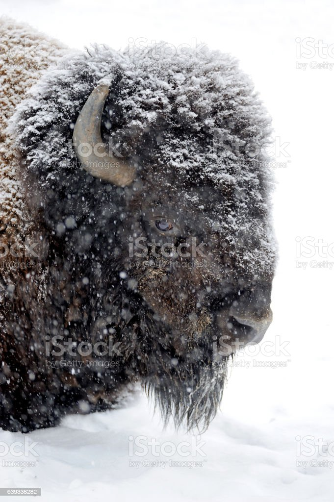 Bison portrait in winter stock photo