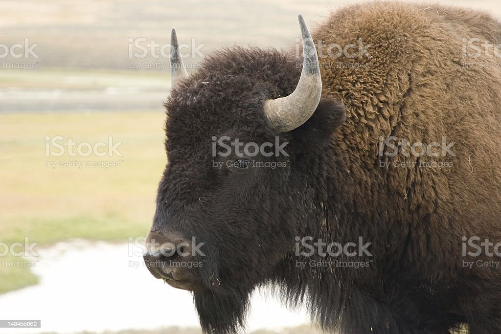 Bison Portrait royalty-free stock photo