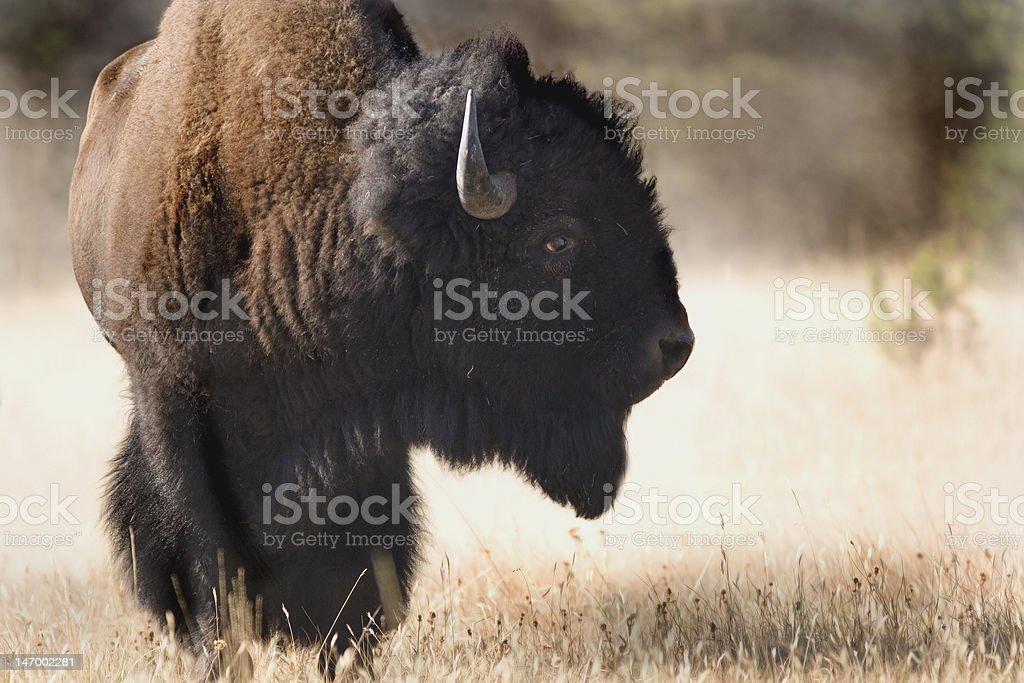 Bison profil chaud et poussiéreux de jour photo libre de droits