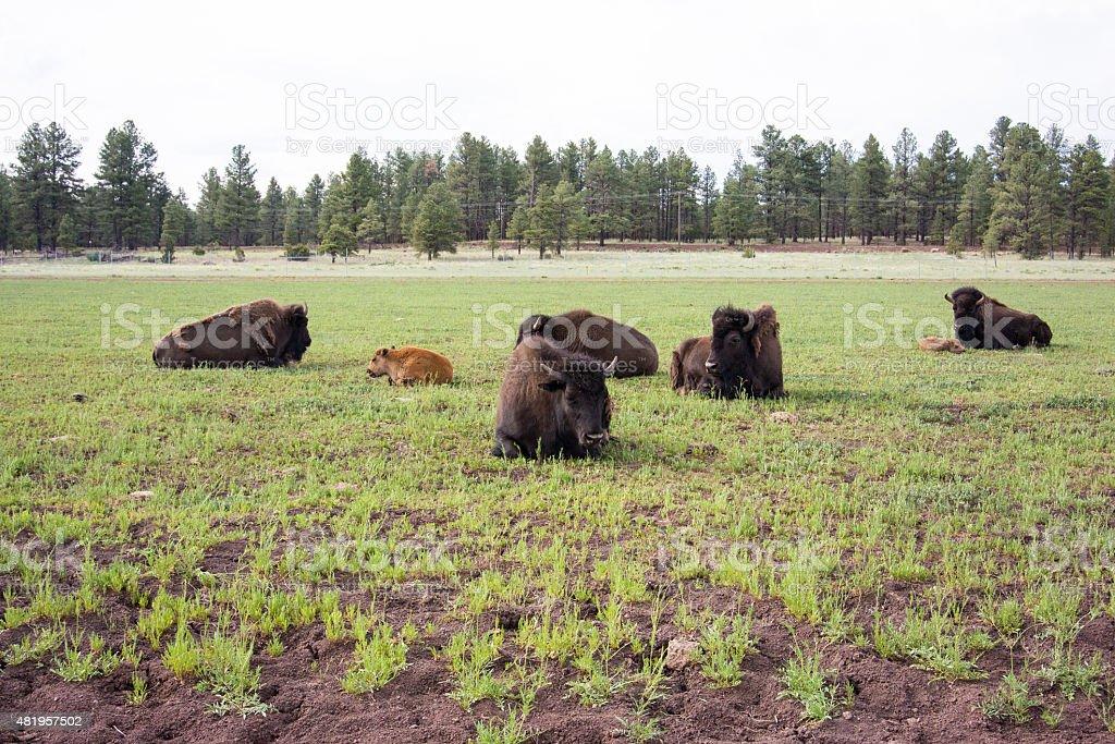 Bisonte rilassante in un campo foto stock royalty-free