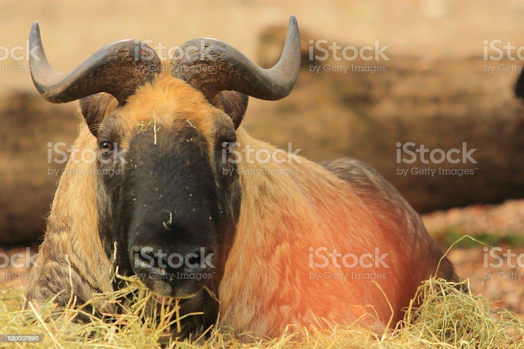 Bison Resting stock photo