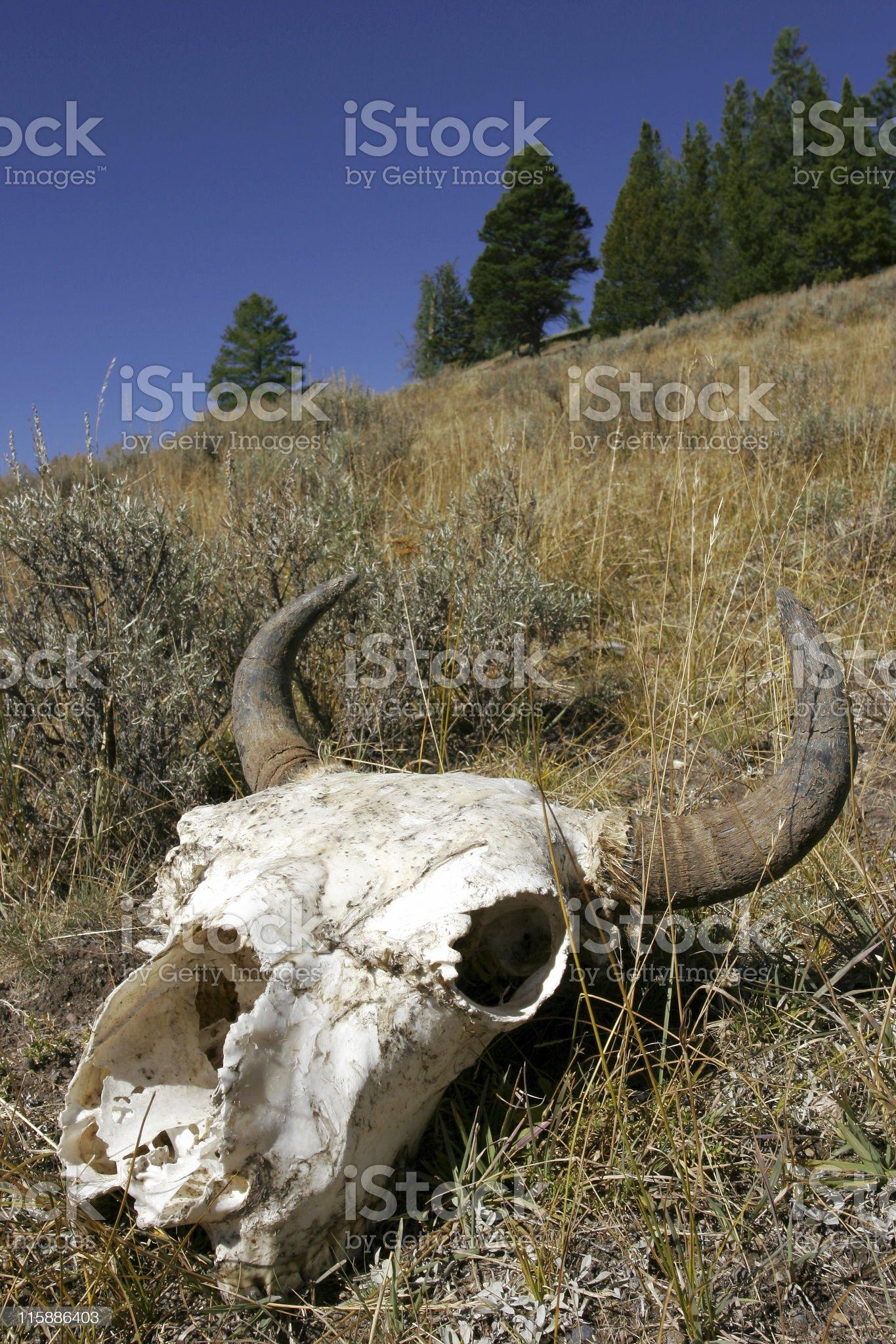 Bison Skull royalty-free stock photo