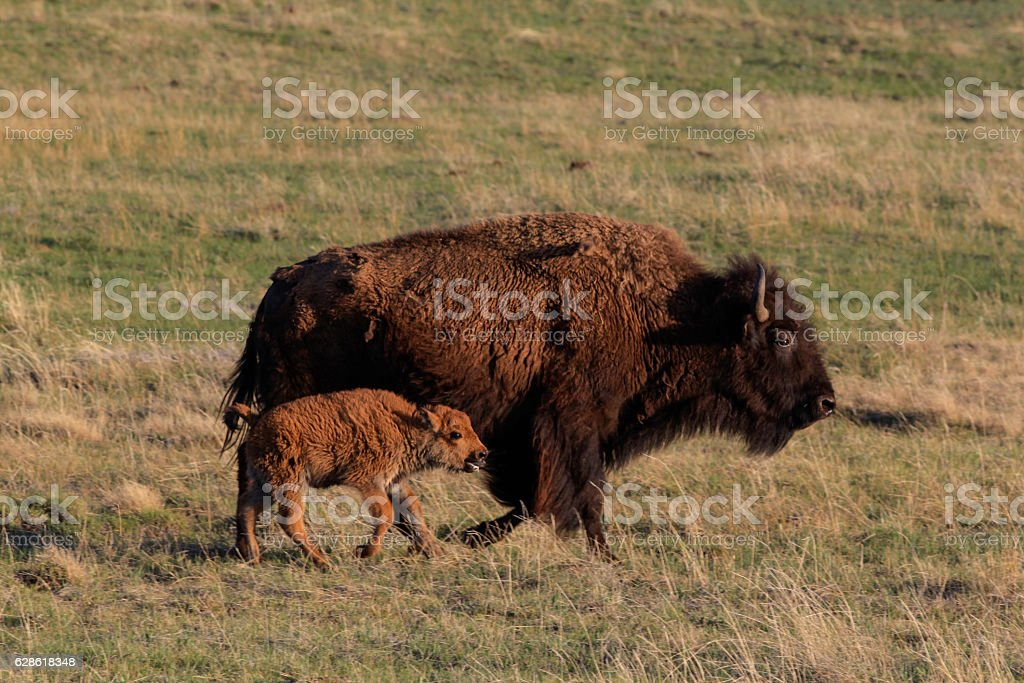 Bison stampeding in Lamar Valley, Yellowstone National Park stock photo