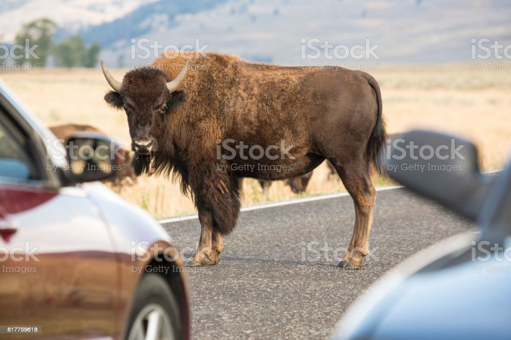 Bison standing in road, causing traffic jam, Yellowstone National Park. stock photo