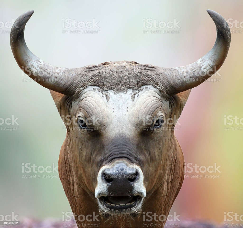 bison staring at the camera. stock photo