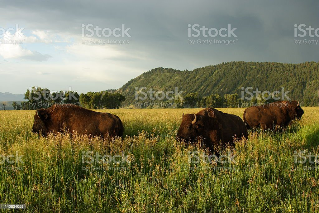 Bison Trio stock photo