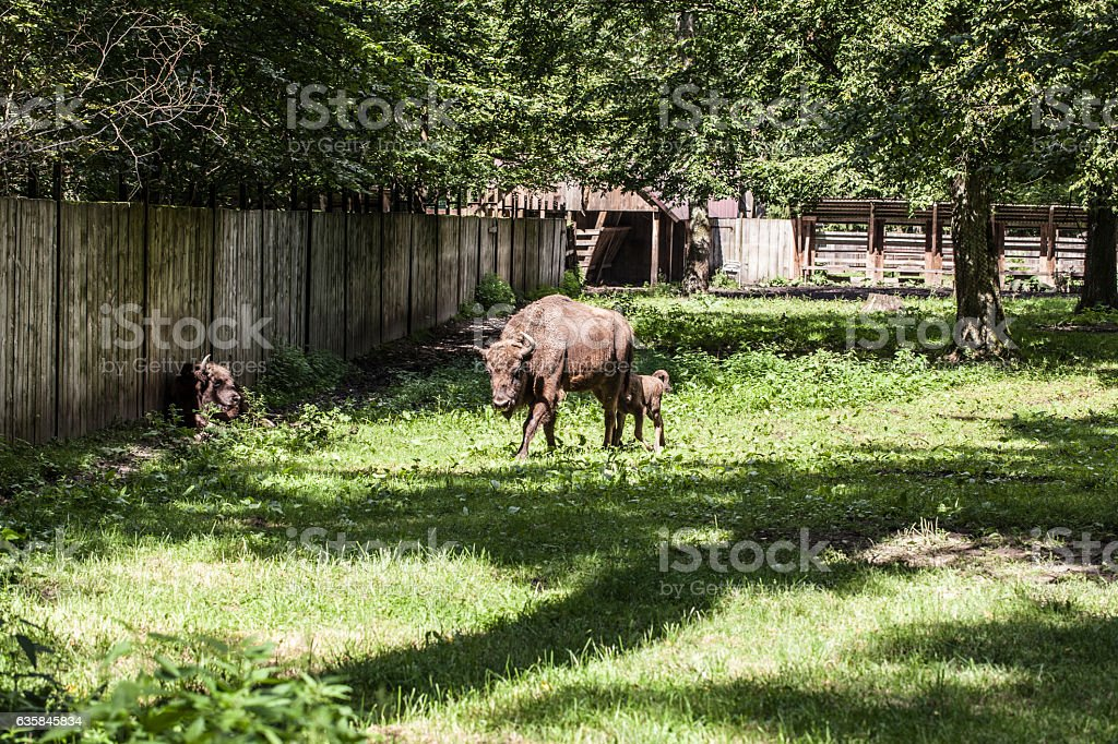 bison walks in the yard, Bialowieza National Park stock photo