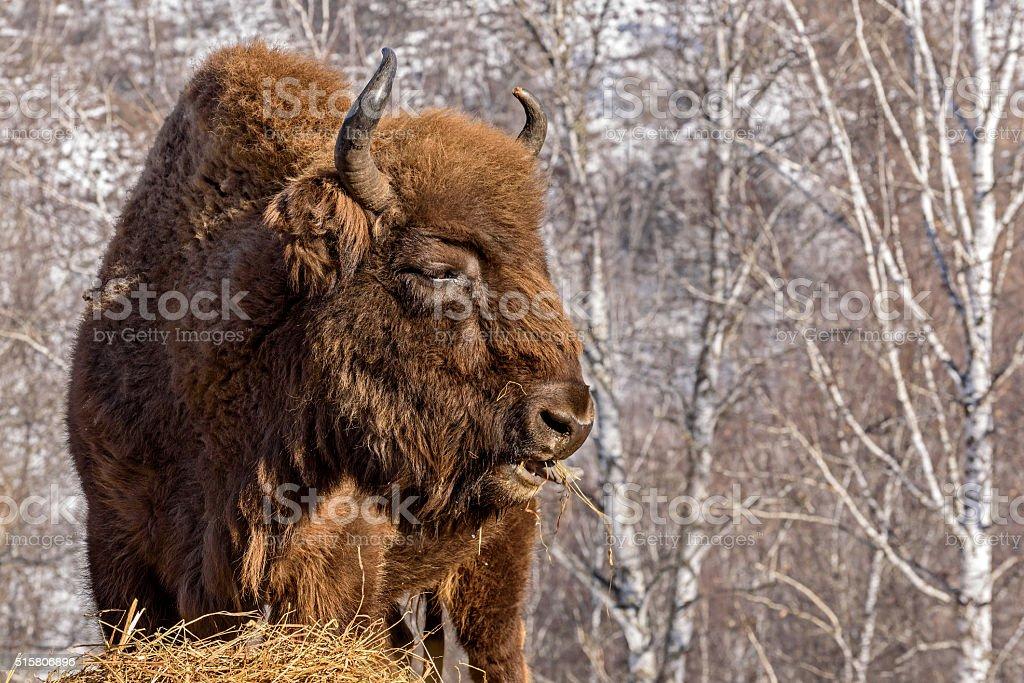 bison wild mammal portrait hay stock photo