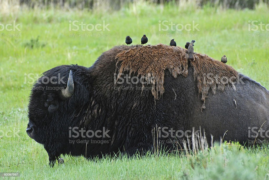 Bison with Cowbirds stock photo