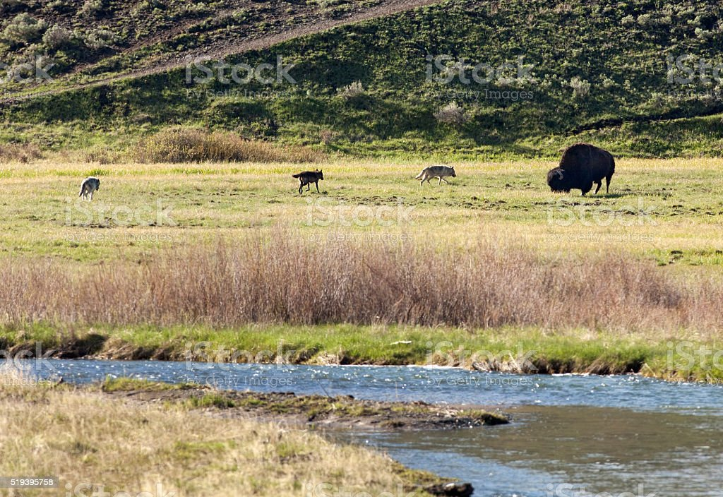 Bison with grey wolves Lamar River Yellowstone National Park Wyoming stock photo