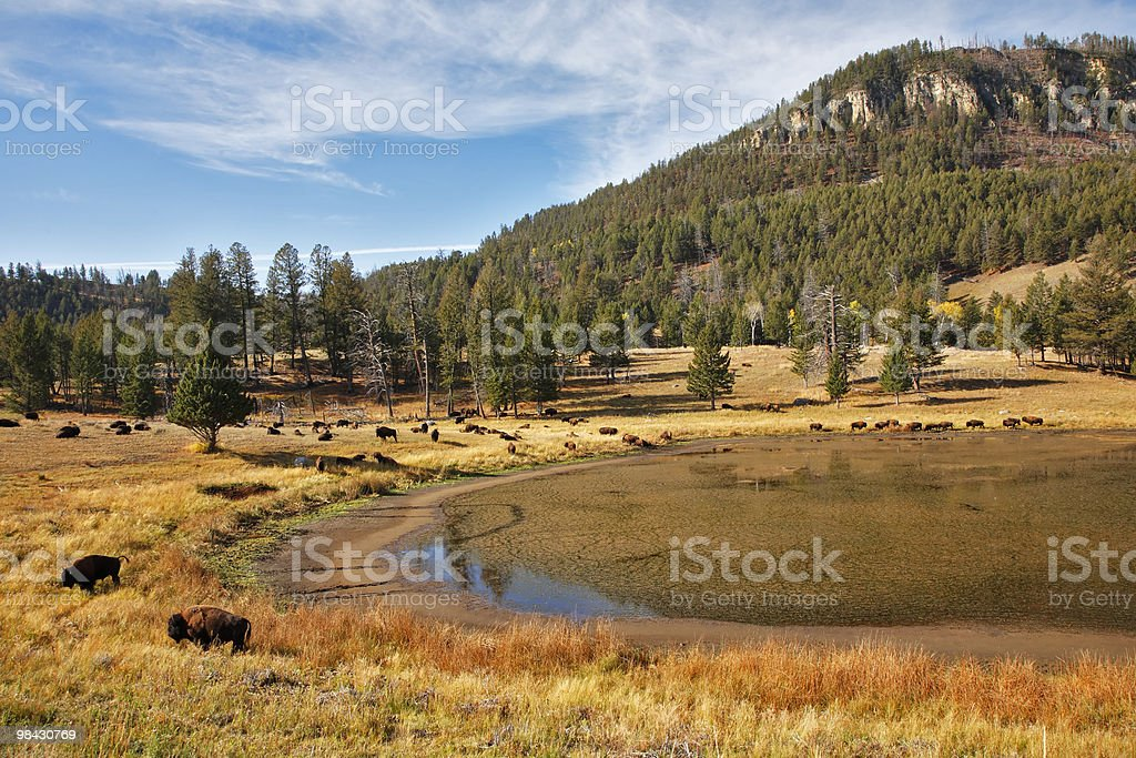 Bisons  in national park of the USA stock photo