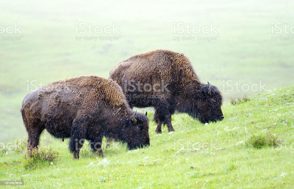 Bisons in Rain & Mist - YNP royalty-free stock photo