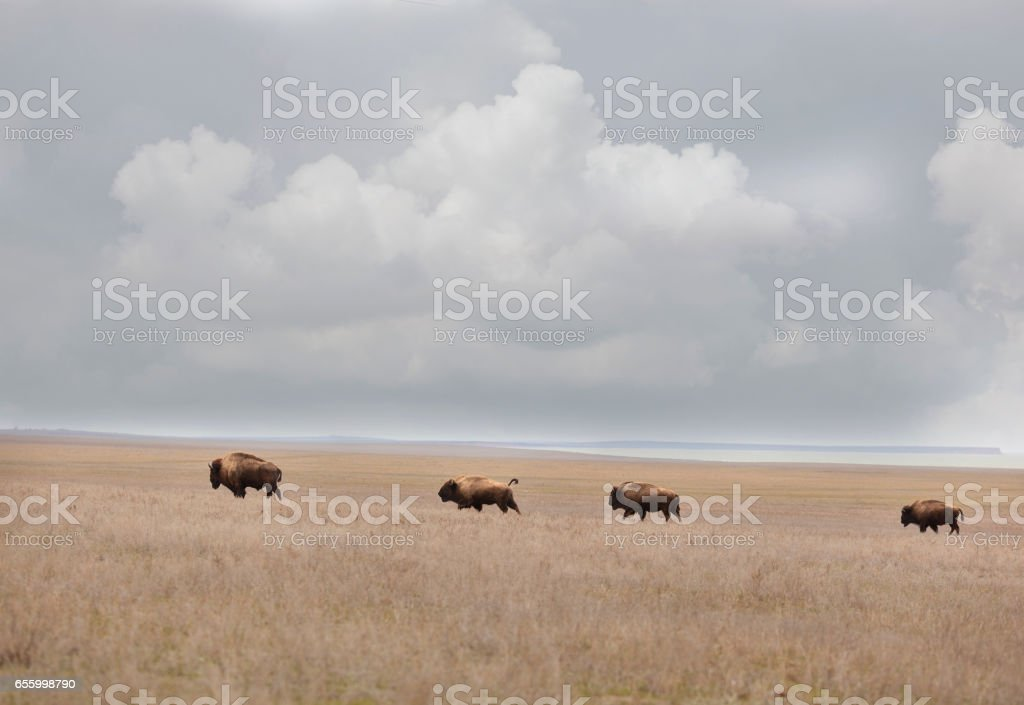bisons in the prairies stock photo