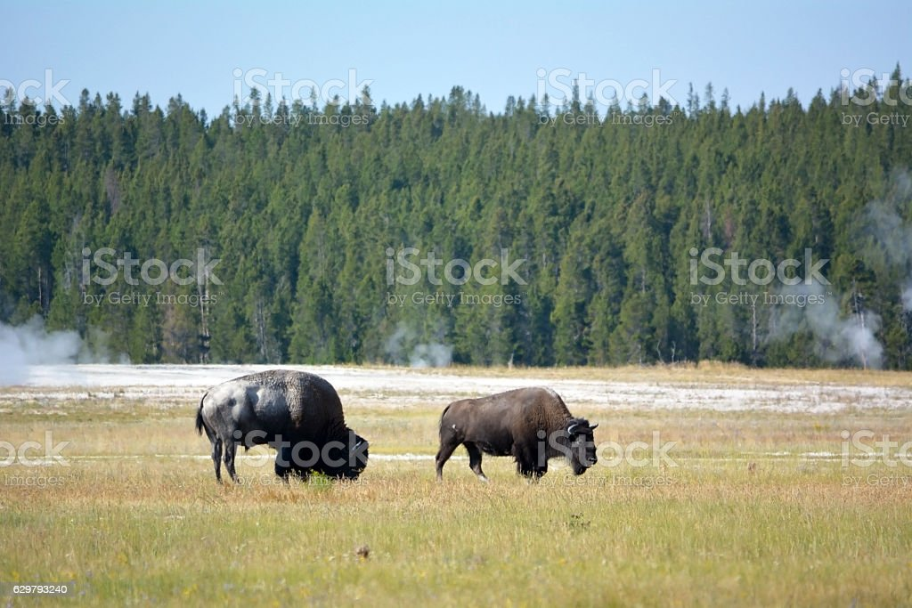 Bisons on the Yellowstone national park stock photo