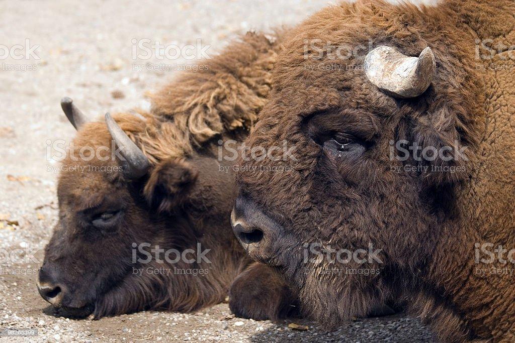 Bisons stock photo