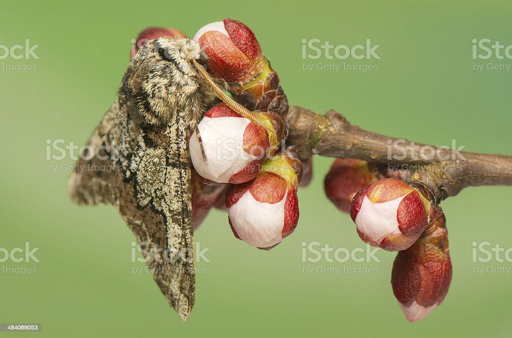 Biston strataria stock photo