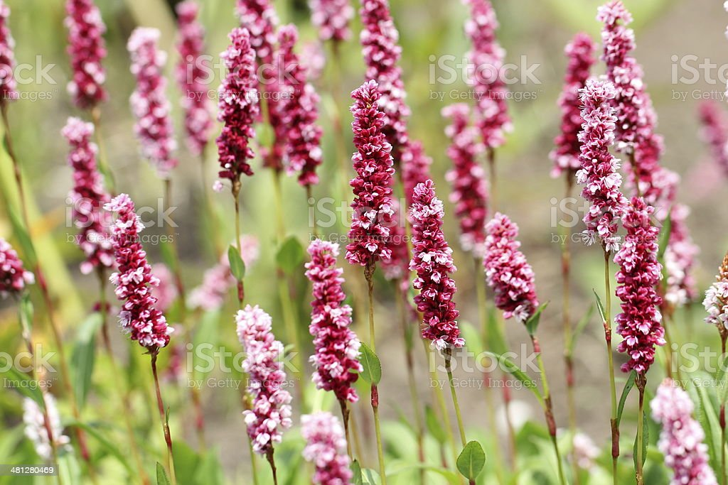 Bistorta officinalis - Schlangen-Wiesenknoeterich stock photo