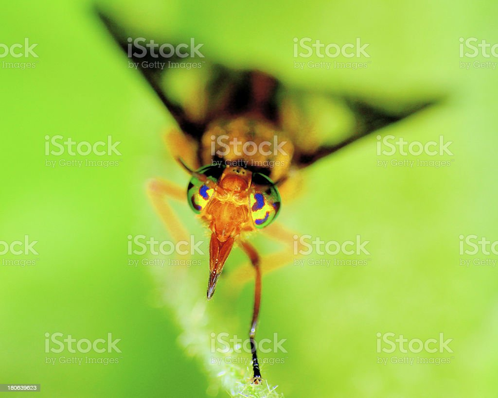 Biting Deer Fly stock photo