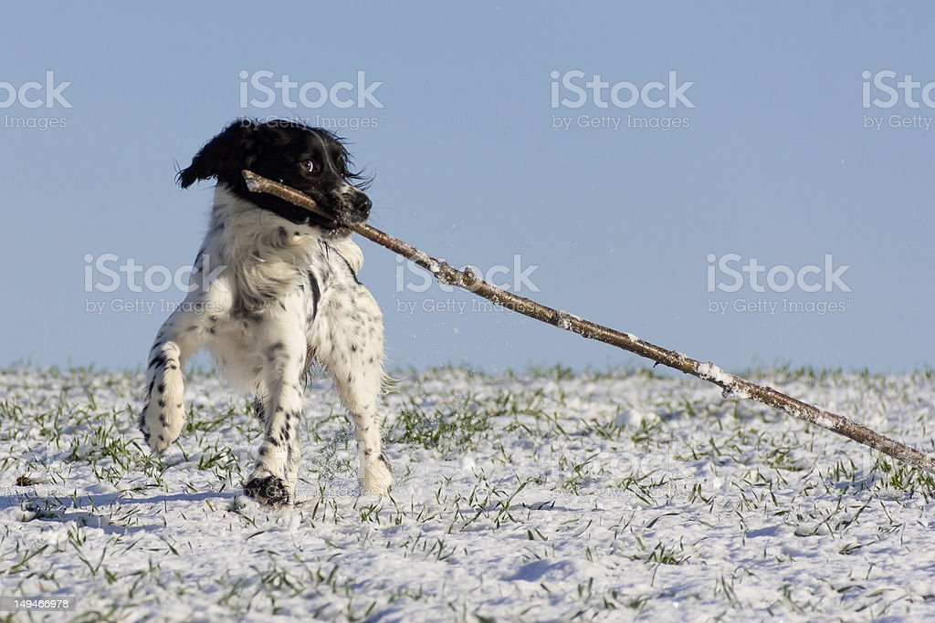 Biting off more than she can chew! royalty-free stock photo