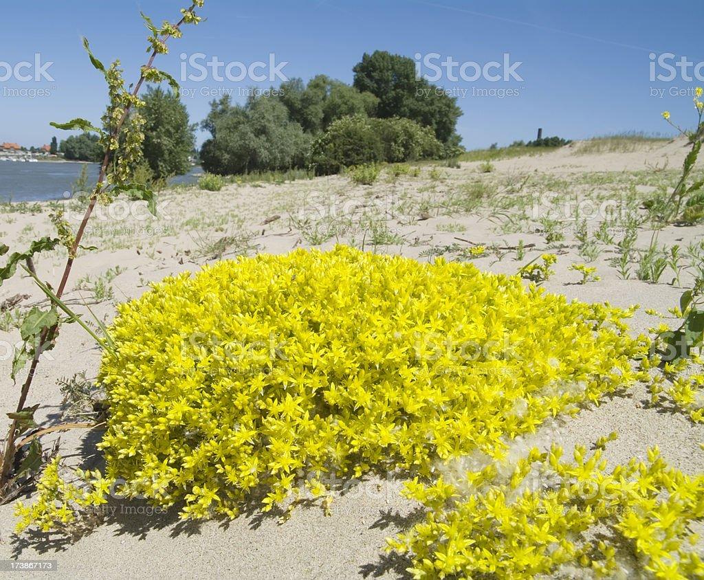 Biting stonecrop (Sedum acre) in bloom stock photo
