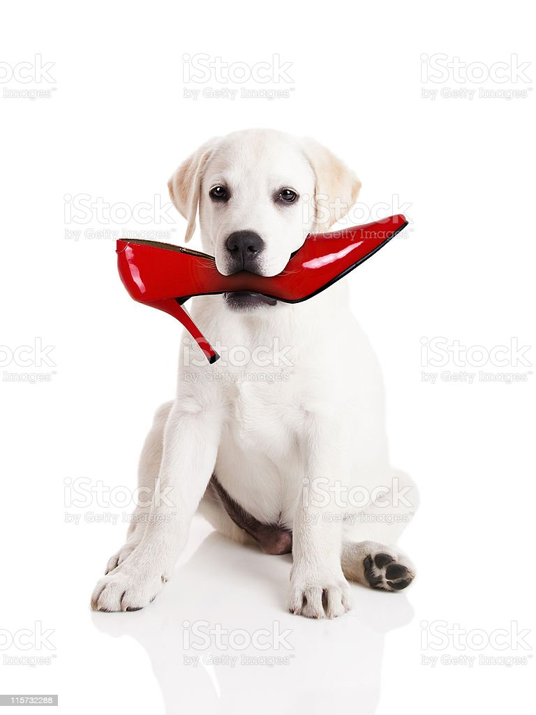 Biting the shoe royalty-free stock photo