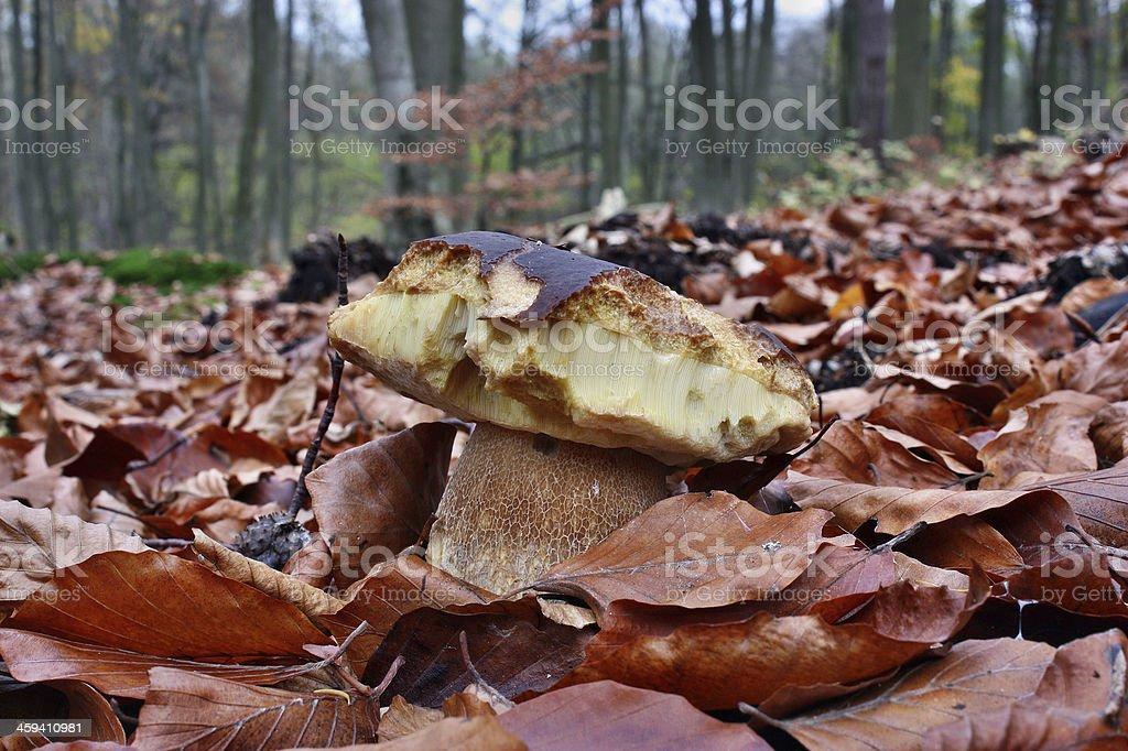 Bitten by slugs mushroom stock photo