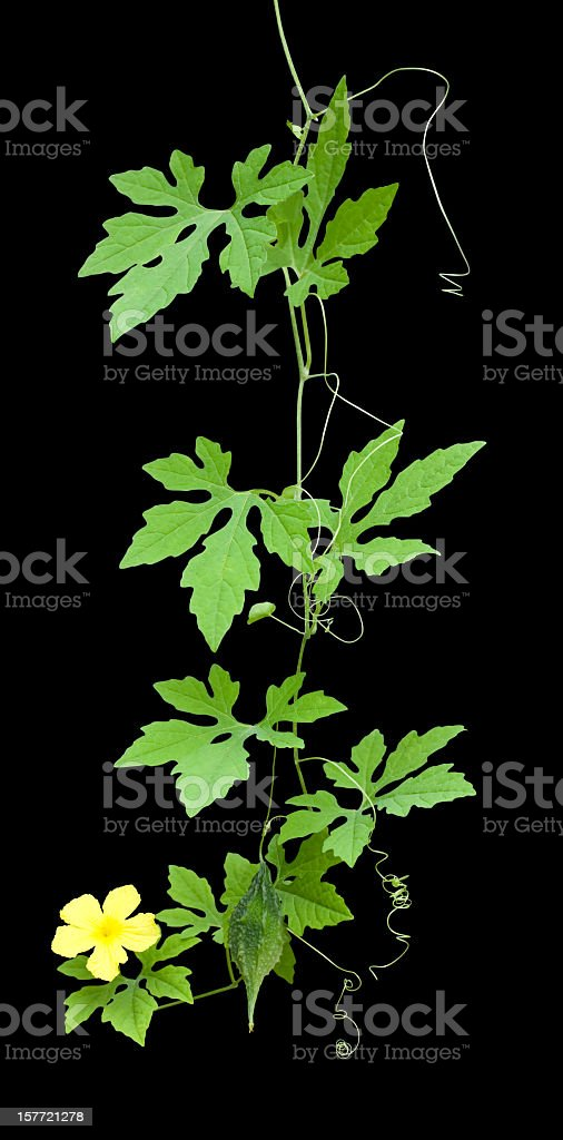 Bitter Cucumber creeper, clipping path included. royalty-free stock photo