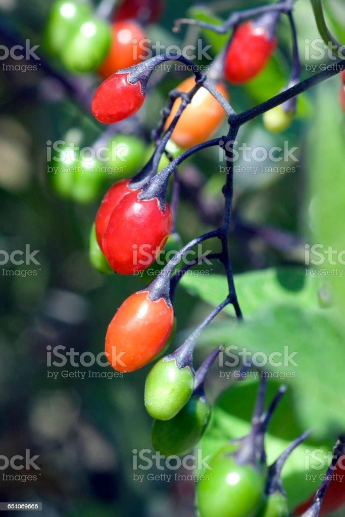 Bitter Darling; nightshade; Solanum stock photo