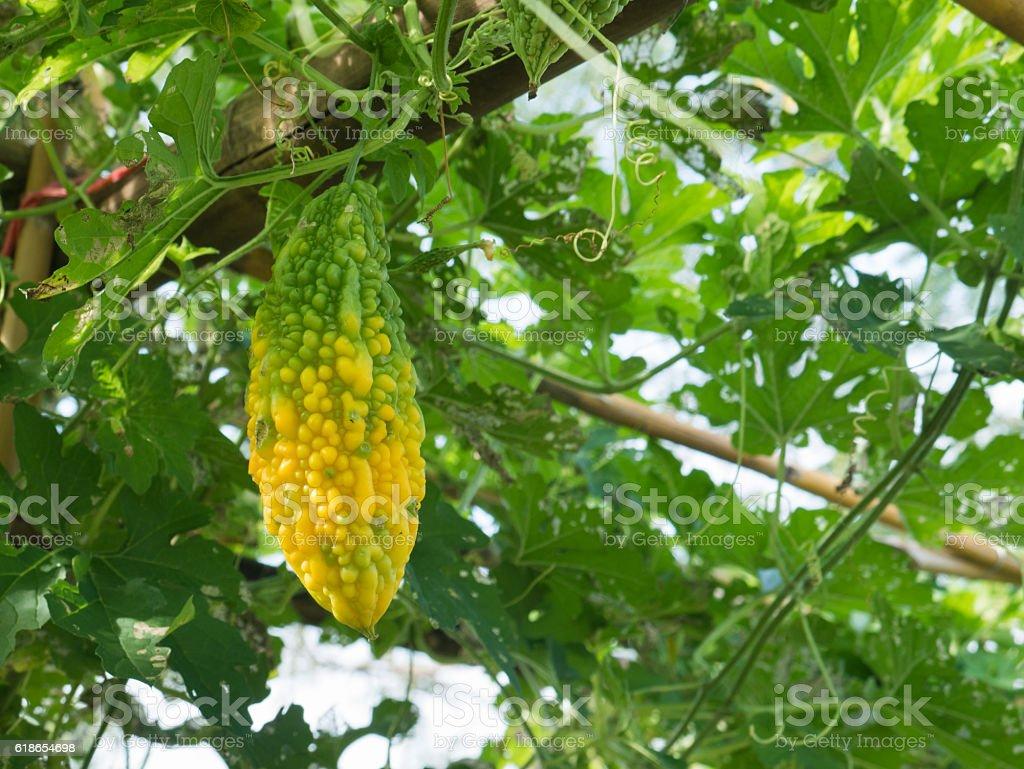 Bitter gourd hanging on a vine in garden,bitter melon stock photo