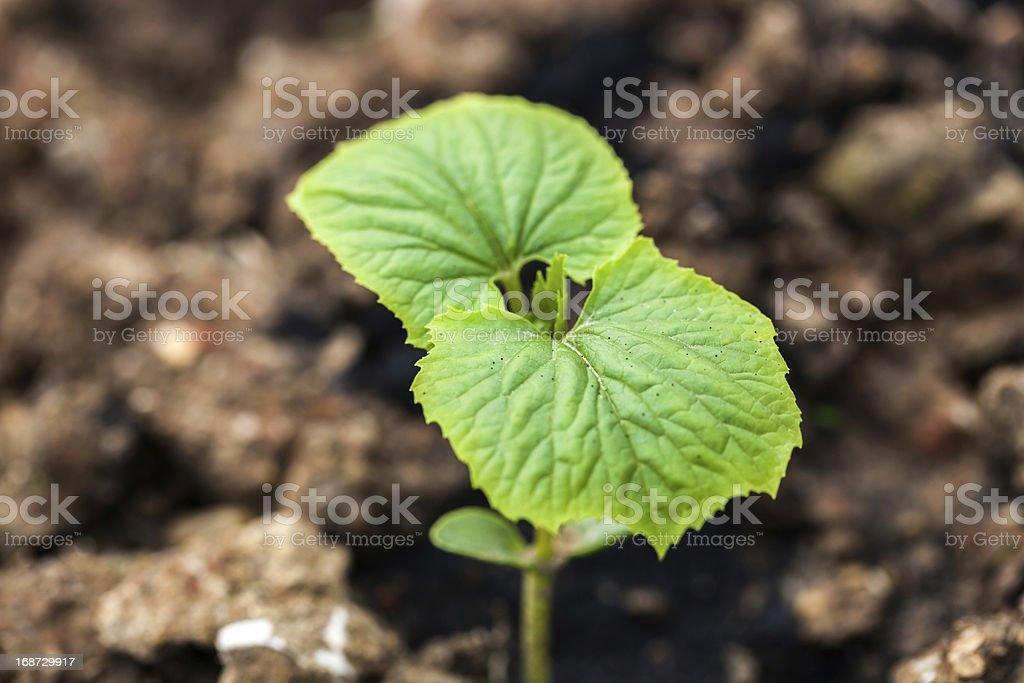 bitter gourd royalty-free stock photo